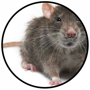 DAL PEST CONTROL ELIMINATES RODENTS